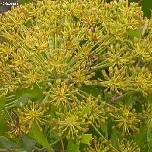 Galbanum Öl (ferula gummosa)
