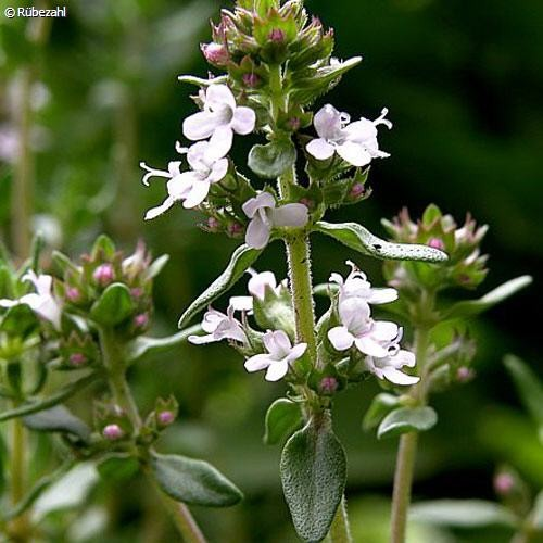 Thymian Öl (thymus vulgaris)