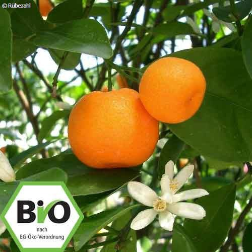 Mandarine rot BIO Öl (citrus reticulata)