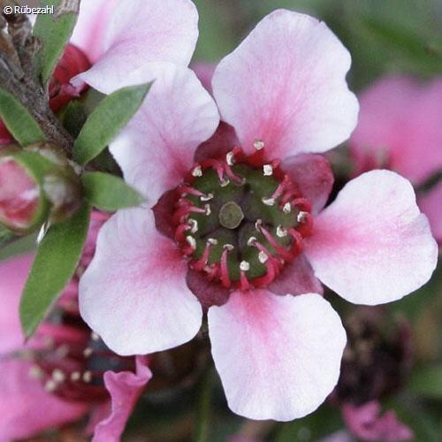 Manuka Öl (leptospermum scoparium)