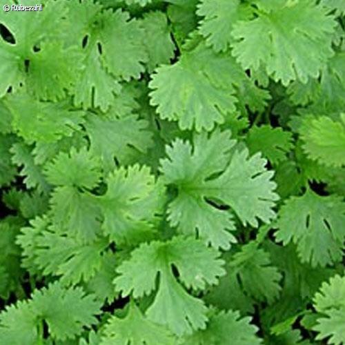 Coriander Öl (coriandrum sativum)