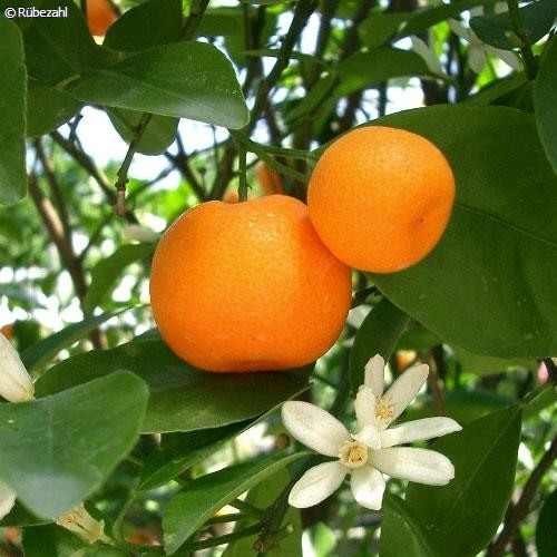 Mandarine rot Öl (citrus reticulata)
