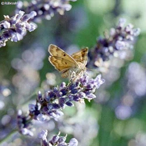 Lavendel trad. fein Öl (lavan. angustifolia)