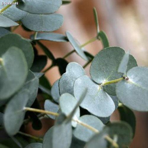 Eukalyptus glob. Öl (eucalyptus globulus)