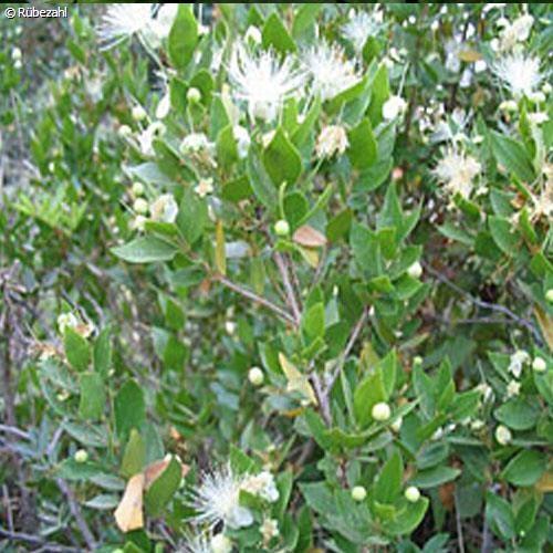 Myrte Öl (myrtus communis