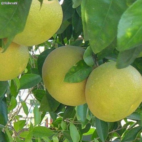 Grapefruit Öl (citrus paradisi)