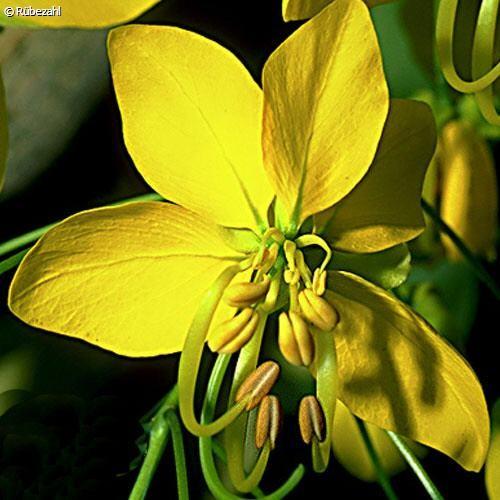 Cassia Öl (cinnamomum aromaticum)