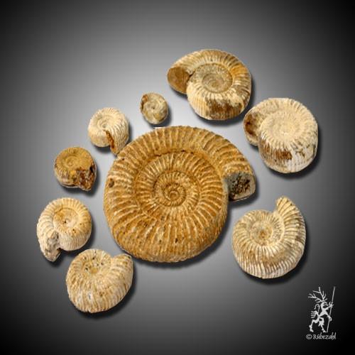 AMMONIT Fossil roh
