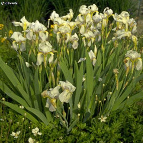 Iriswurzel Öl (iris pallida)