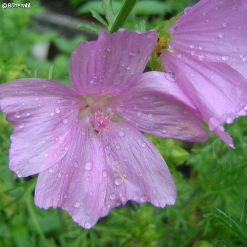 Mochuskörner Öl (hibiscus abelmoschus)