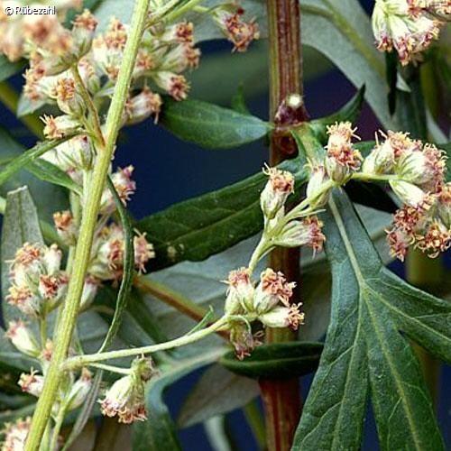 Beifuß Öl (artemisia vulgaris)