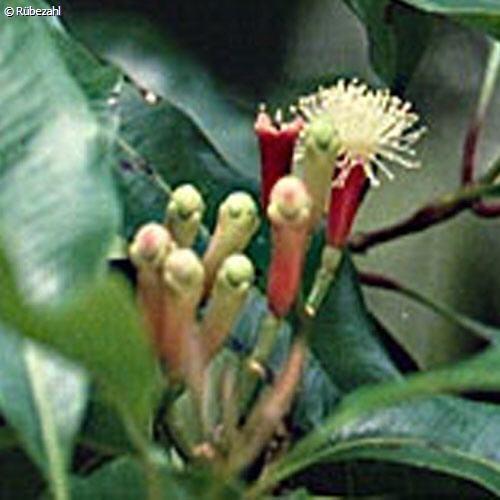 Nelke Öl (eugenia caryophyllata)