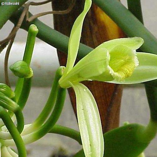 Vanille absolue 35% (vamilla planifolia)