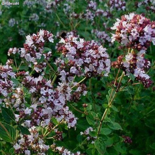 Oregano, Origanum Öl (origanum vulgare)