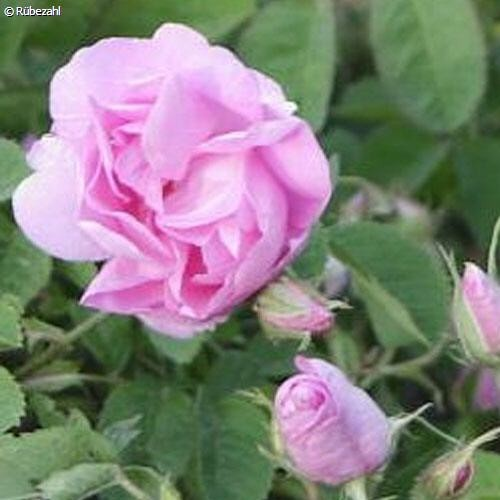 Rose absolue Öl (rosa centifolia)