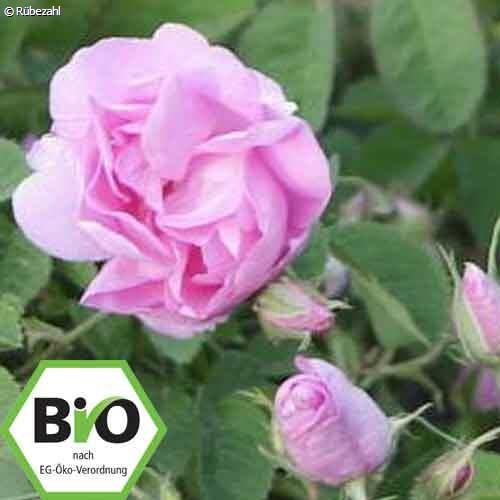 Rose BIO Öl (rosa damascena)