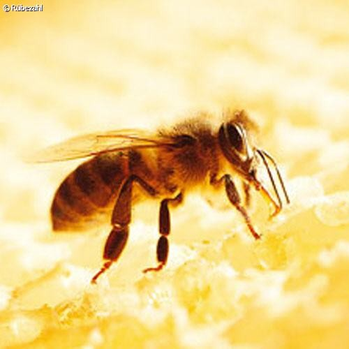 Honigessenz Öl (apis mellifera)