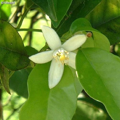 Neroli Öl (citrus aurantium)