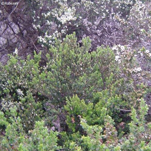 Teebaum Öl (melaleuca alternifolia)