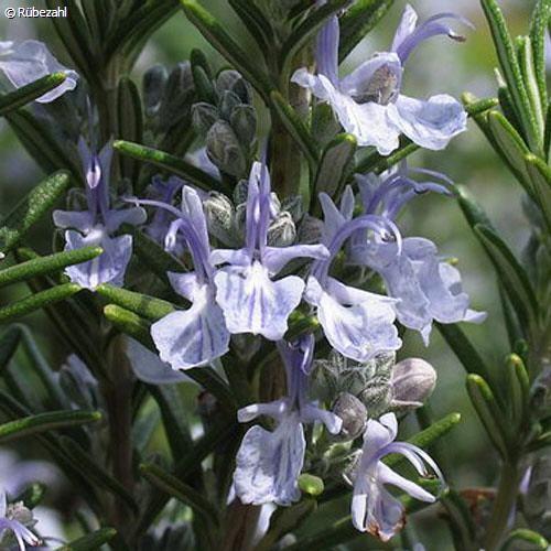 Rosmarin Öl (rosmarinus officinalis)