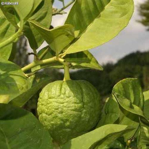 Limette Öl (citrus aurantifolia)