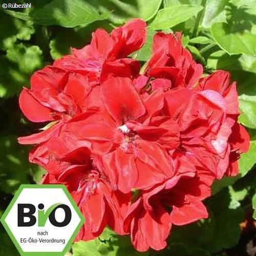 Geranie, Geranium BIO (pelargonium graveol)