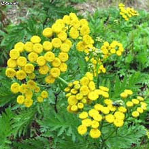 Rainfarn Öl (tanacetum vulgare)