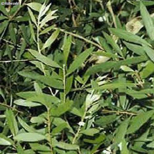Niaouli Öl (malaleuca virdiflora)