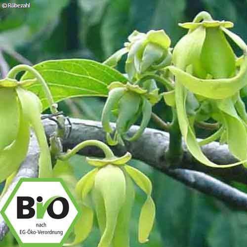 Ylang Ylang BIO Öl (cananga odorata)