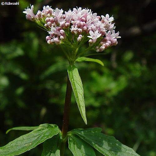 Baldrian Öl (valeriana officinalis)
