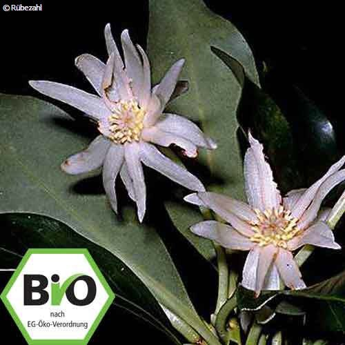 Sternanis BIO Öl (illicum verum hook) 10 ml