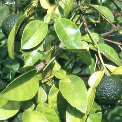 Petit Grain Öl (citrus aurantium)