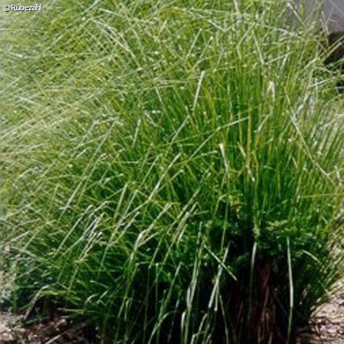Vetiver Öl (vetiveria zizanioides)