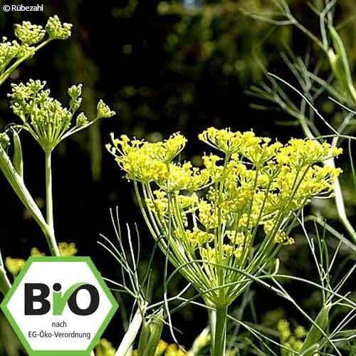 Fenchel süss BIO (foenicul. vul. var.dulcis)