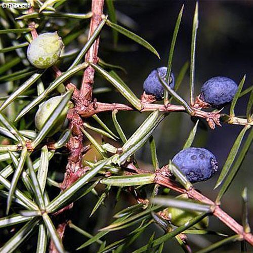 Wacholderbeere Öl (juniperus communis)
