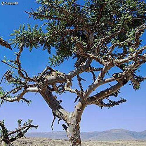 Weihrauch Öl (boswellia serrata)