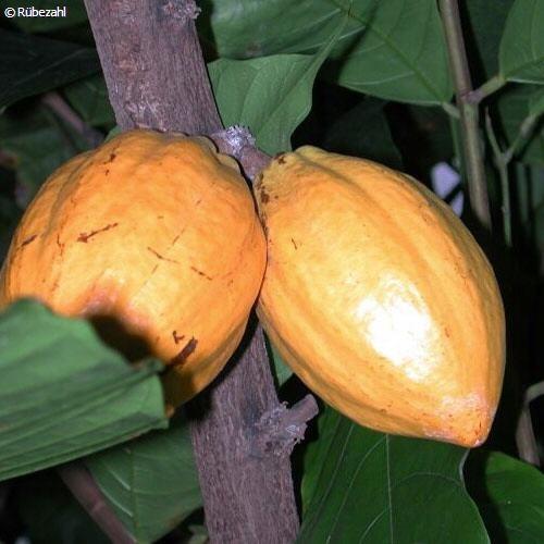 Kakao Öl 10% (theobroma cacao)