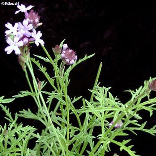 Verbena Öl (lippia triphylla)